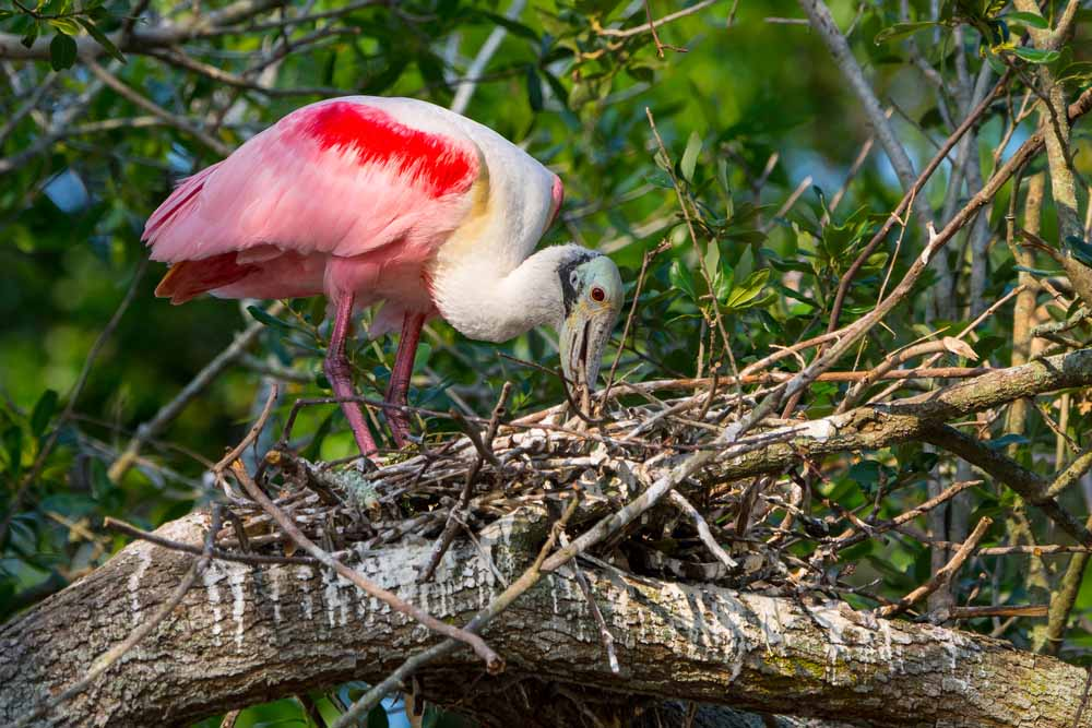 Roseate Spoonbills at Palo  Verede National Park