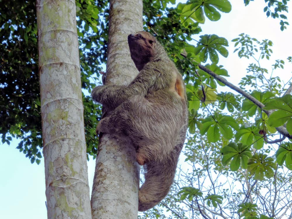 Sloths, Arenal Volcano National Park, Costa Rica