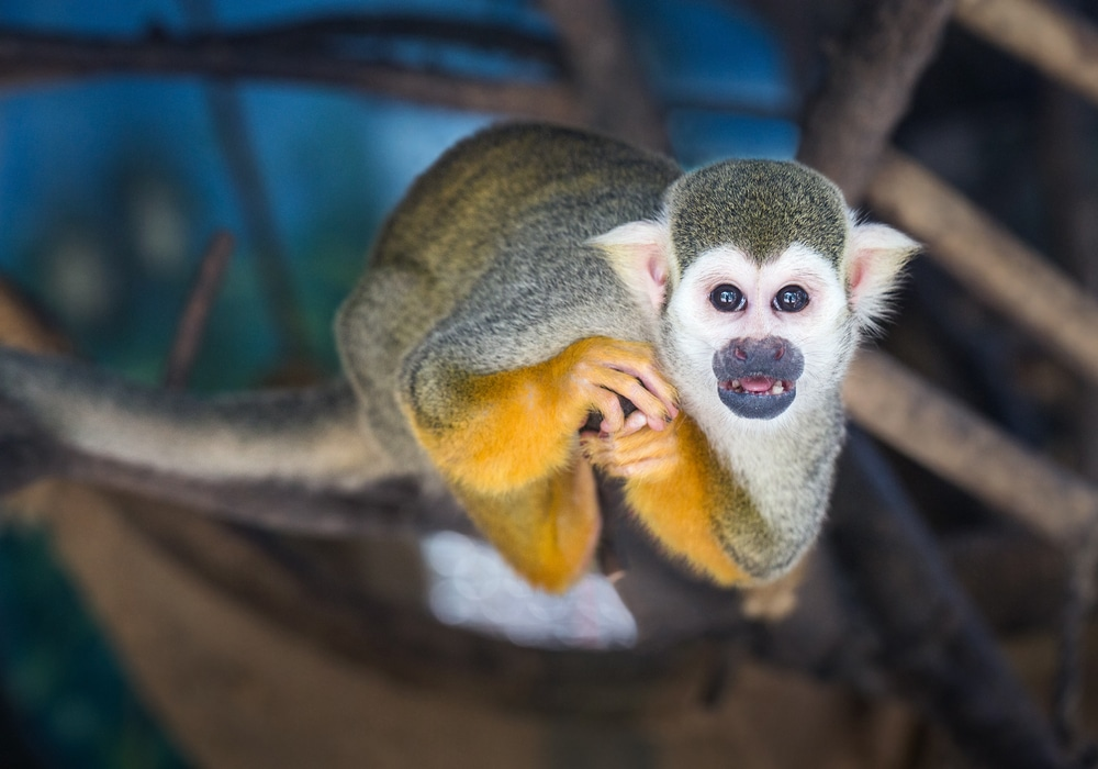 Squirrel monkey, Manuel Antonio National park, Costa Rica