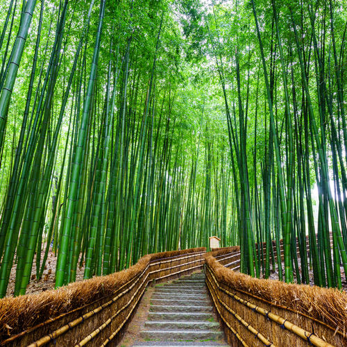 Japan - Visit the Arashiyama Bamboo Grove: Kyoto's Photographer Heaven