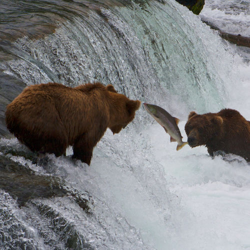 Alaska - Learn about bears in the wild on a bear tour