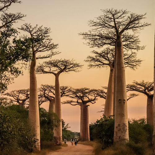 Madagascar - Gaze at The Beautiful Landscapes of the Avenue of Baobabs