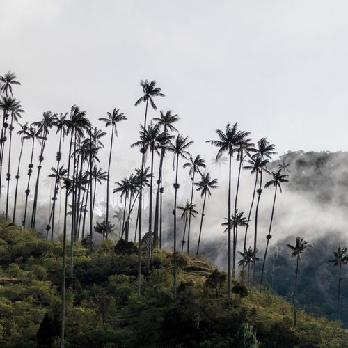 Colombia, Cocora Valley, wax Palms, Coffee Triangle