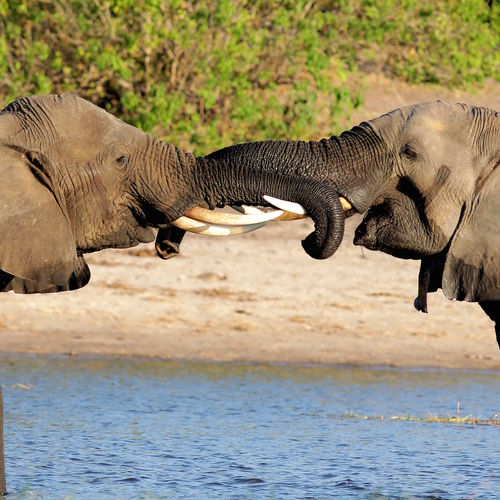 Botswana - Chobe National Park: Meet The World's Largest Elephants On Exclusive Safaris