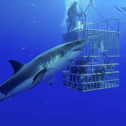 South Africa - Gaansbai: Experience a Shark Cage-Diving Adventure