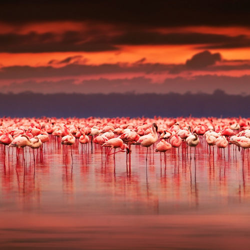 Kenya - The Flamingos of Lake Nakuru - Witness An explosion of pink