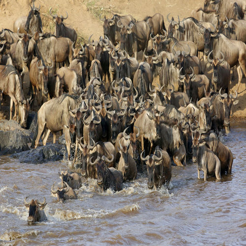 Kenya - The Great Wildebeest Migration