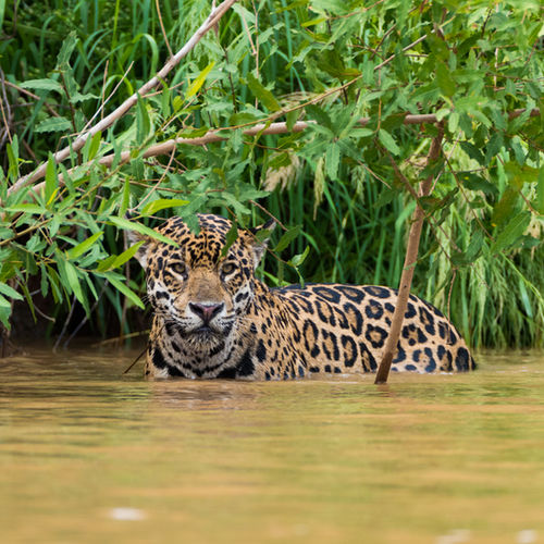 Brazil - Go Jaguar Spotting in the Pantanal