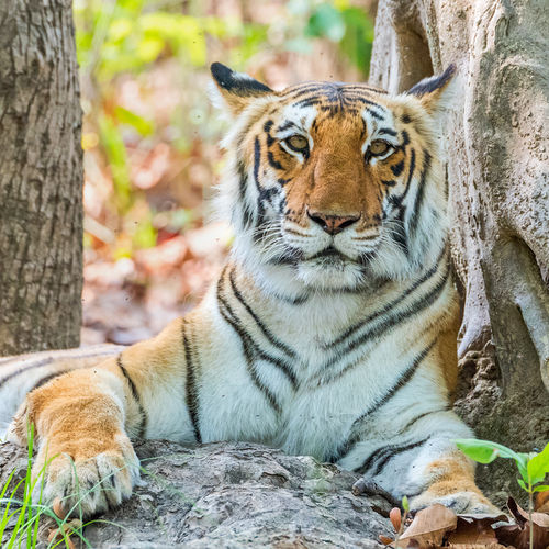 India - Jim Corbett National Park: Home To The First Tiger Project
