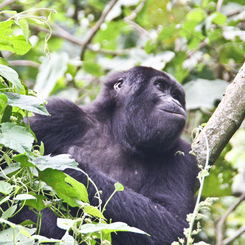 Uganda - Bwindi Impenetrable National Park: Breathtaking Wildlife