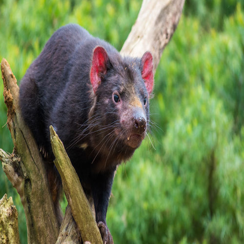 Australia - Meet the endangered Taz Devil