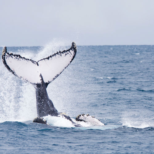 Brazil - Visit the giant humpbacks of Praia do Forte